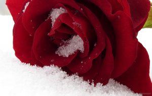 Ros i snö